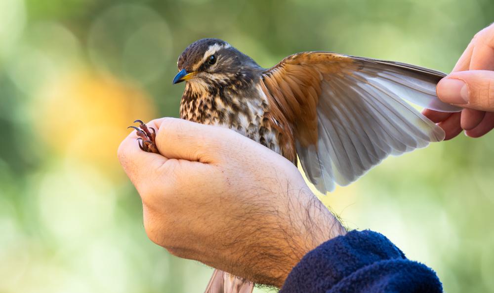 bird_ringing_thumbnail